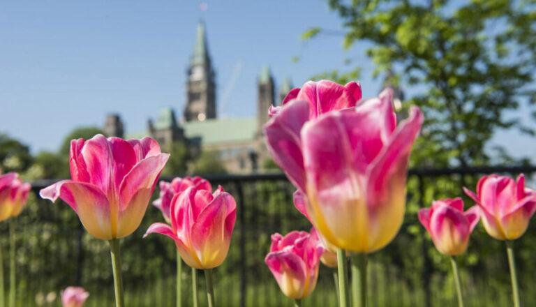 Canadian Tulip Festival 2021